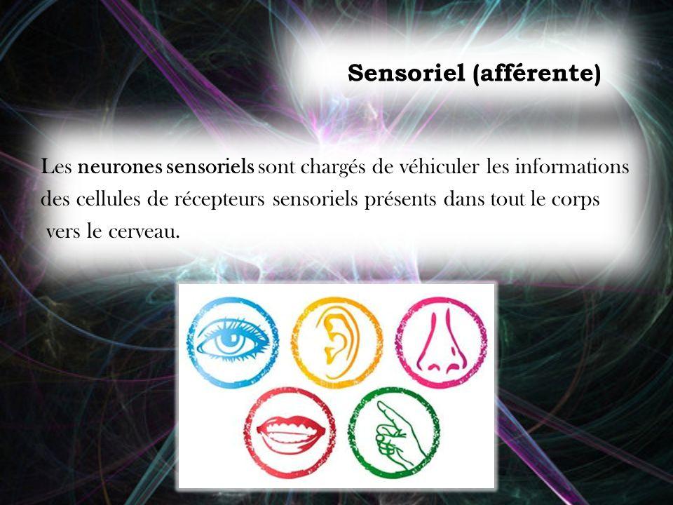 Sensoriel (afférente)