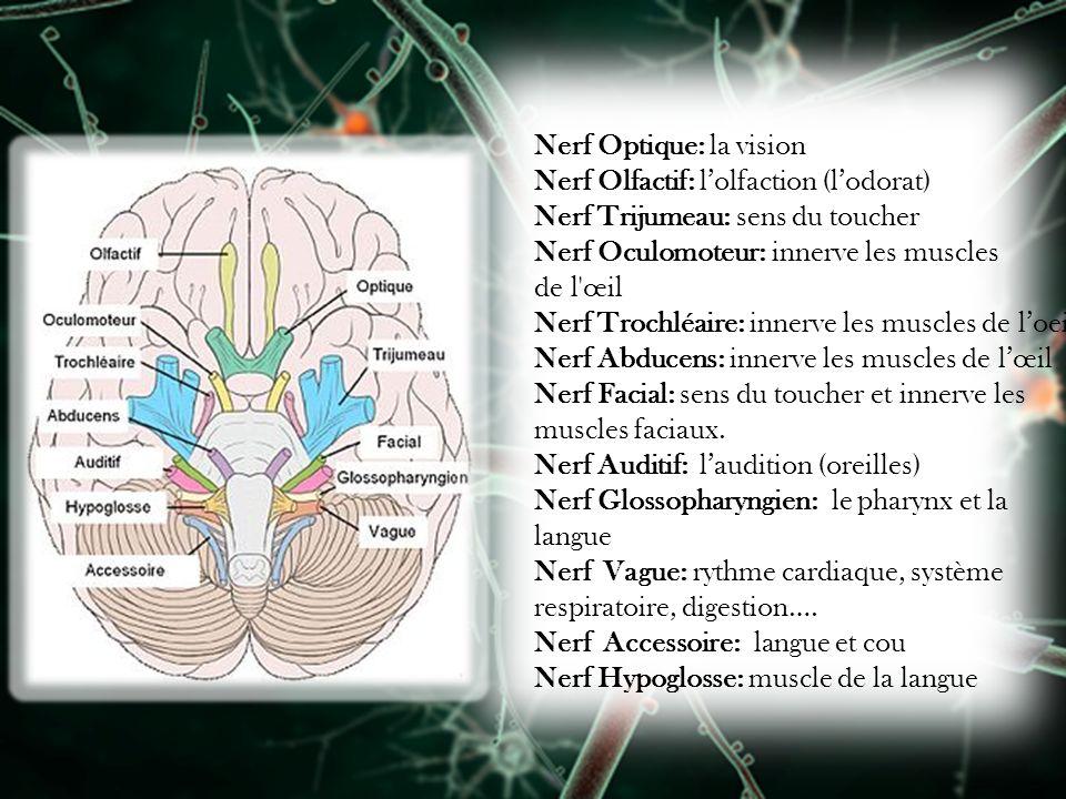 Nerf Optique: la vision