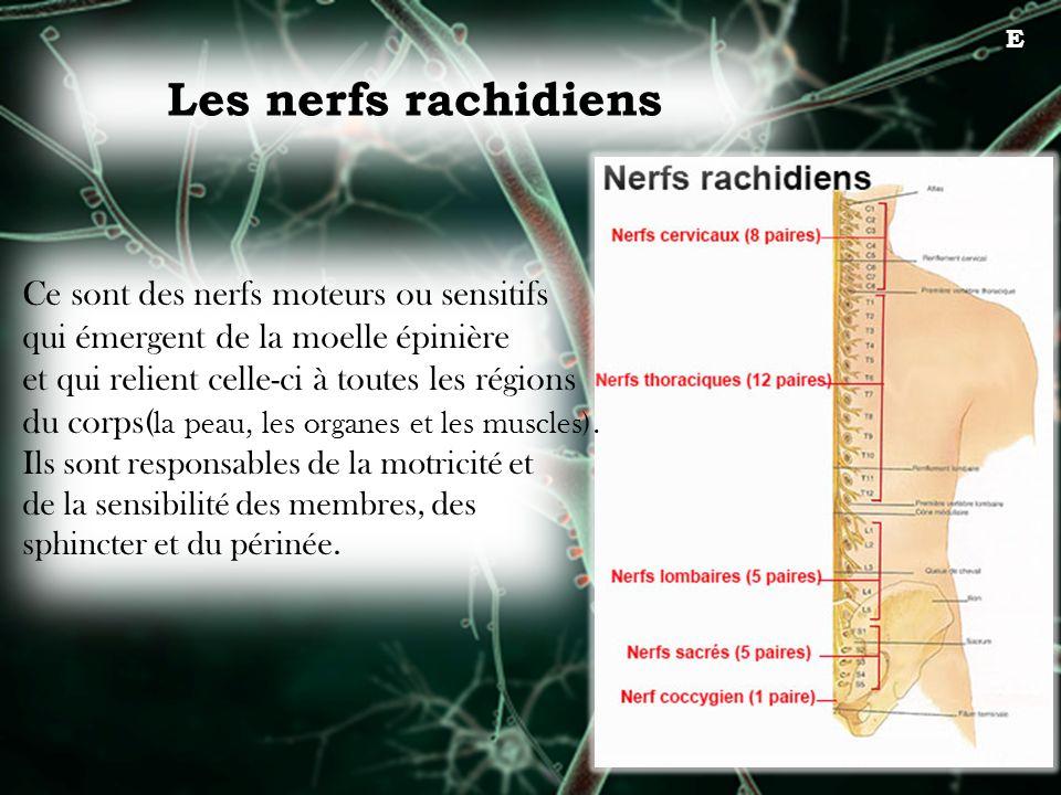 Les nerfs rachidiens Ce sont des nerfs moteurs ou sensitifs