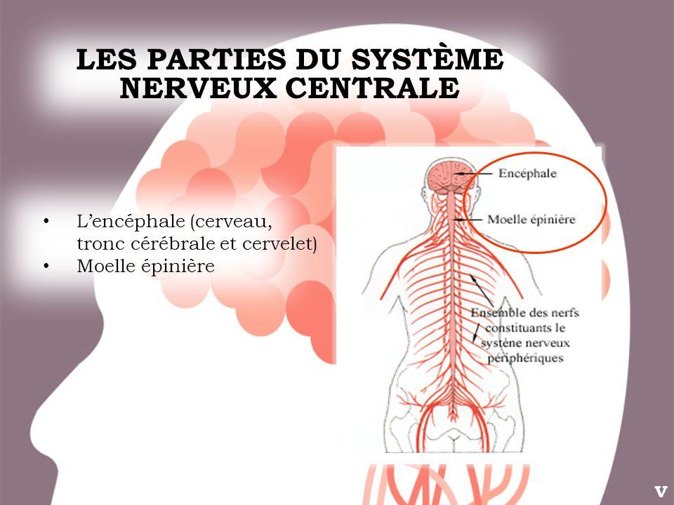 LES PARTIES DU SYSTÈME NERVEUX CENTRALE