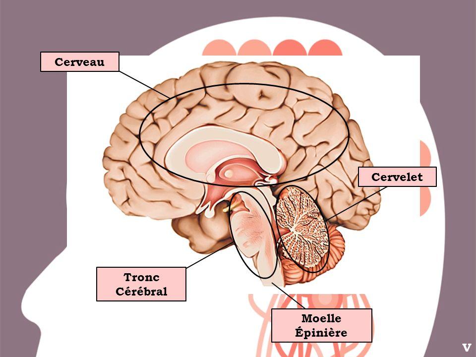 Cerveau Cervelet Tronc Cérébral Moelle Épinière V
