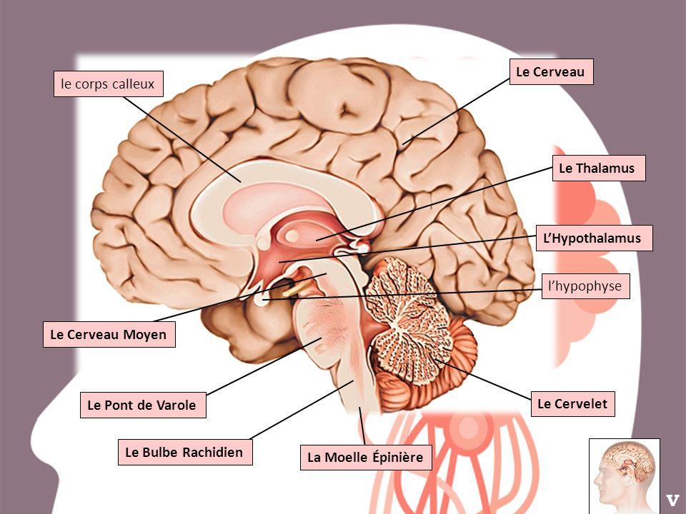 V Le Cerveau le corps calleux Le Thalamus L'Hypothalamus l'hypophyse