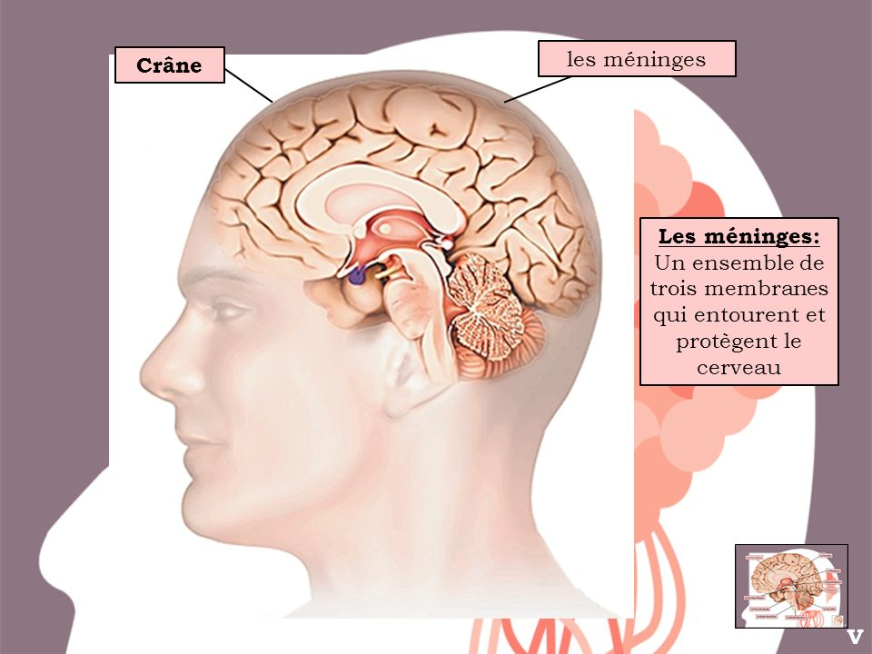 Un ensemble de trois membranes qui entourent et protègent le cerveau