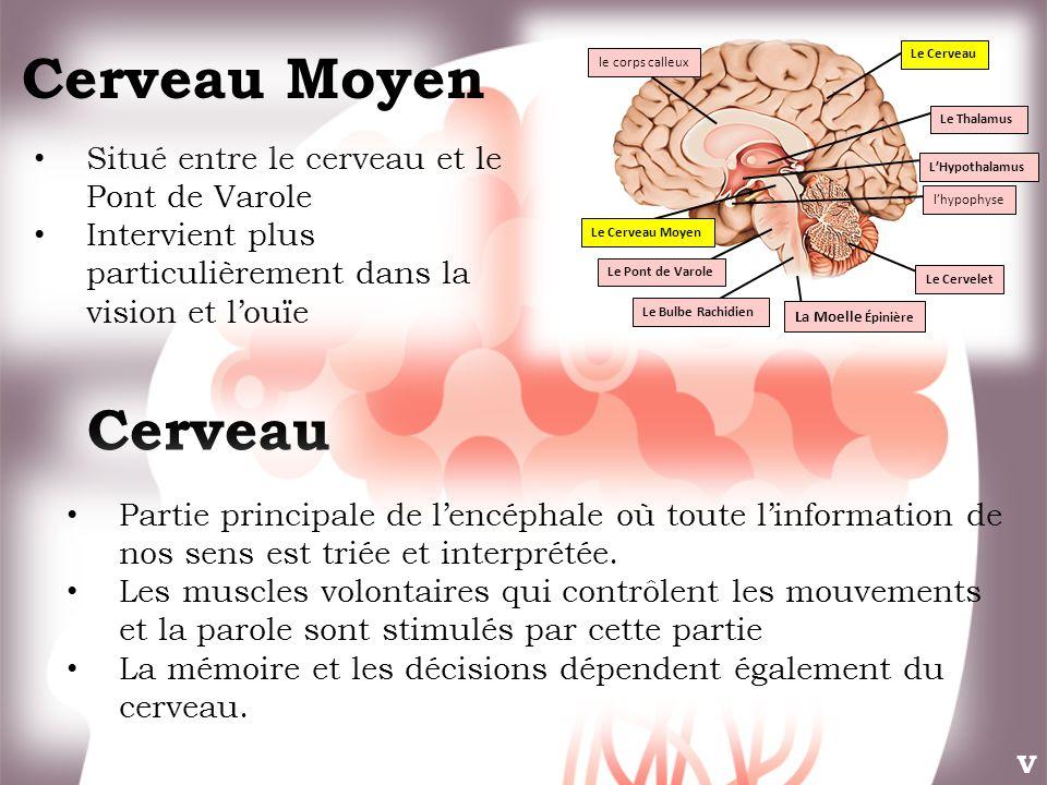 Cerveau Moyen Cerveau Situé entre le cerveau et le Pont de Varole