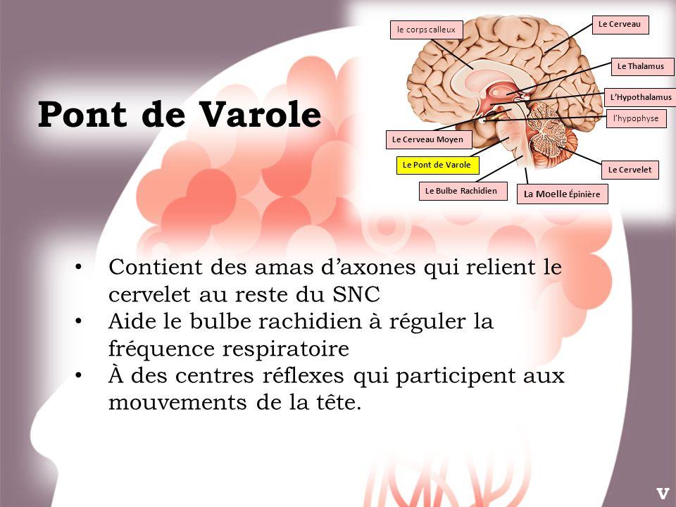 Le Thalamus L'Hypothalamus. Le Cervelet. Le Pont de Varole. Le Bulbe Rachidien. l'hypophyse. Le Cerveau Moyen.