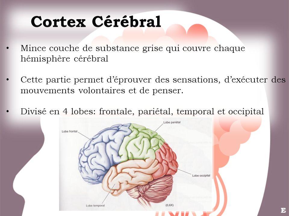 Cortex Cérébral Mince couche de substance grise qui couvre chaque hémisphère cérébral.
