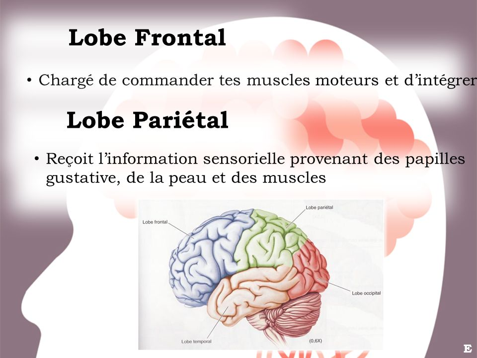Lobe Frontal Lobe Pariétal