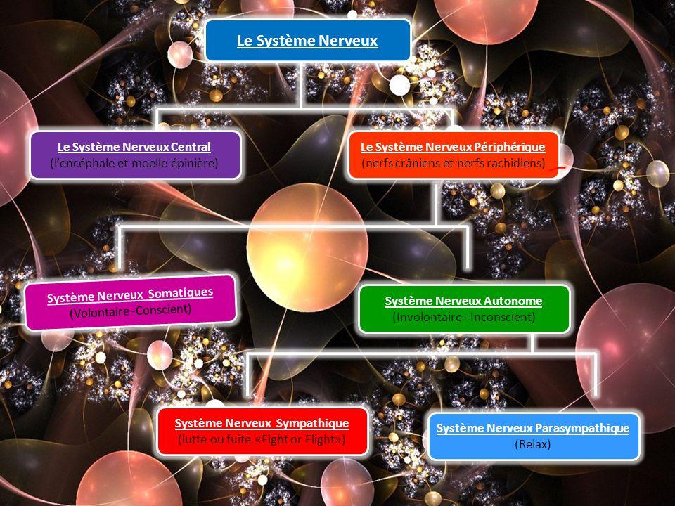 Le Système Nerveux Le Système Nerveux Central
