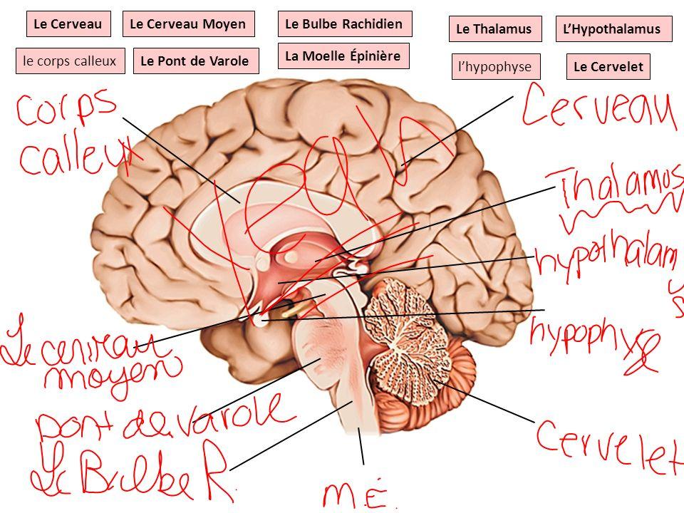 Le Cerveau Le Cerveau Moyen. Le Bulbe Rachidien. Le Thalamus. L'Hypothalamus. La Moelle Épinière.