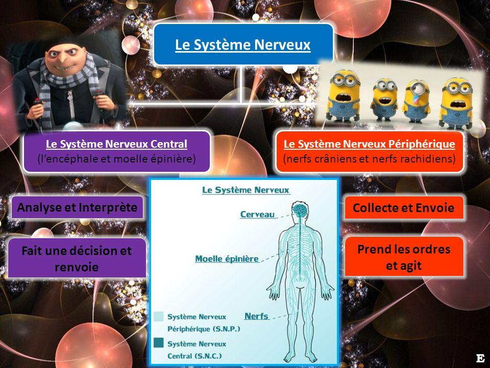 Le Système Nerveux Analyse et Interprète Collecte et Envoie