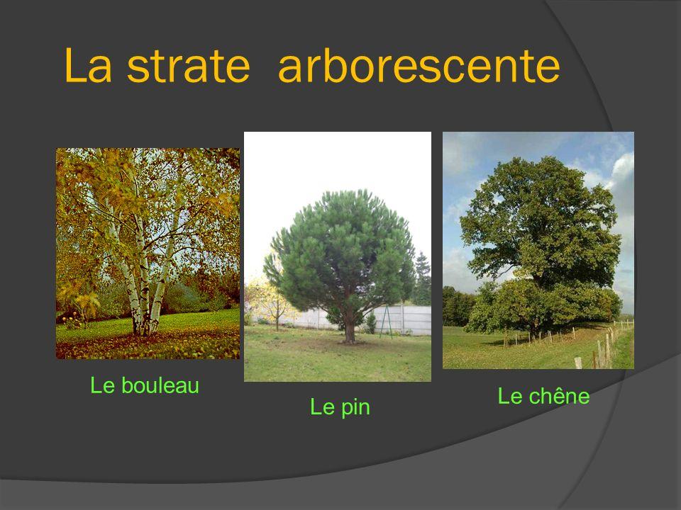 La strate arborescente