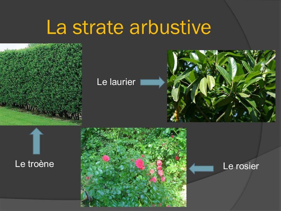 La strate arbustive Le laurier Le troène Le rosier