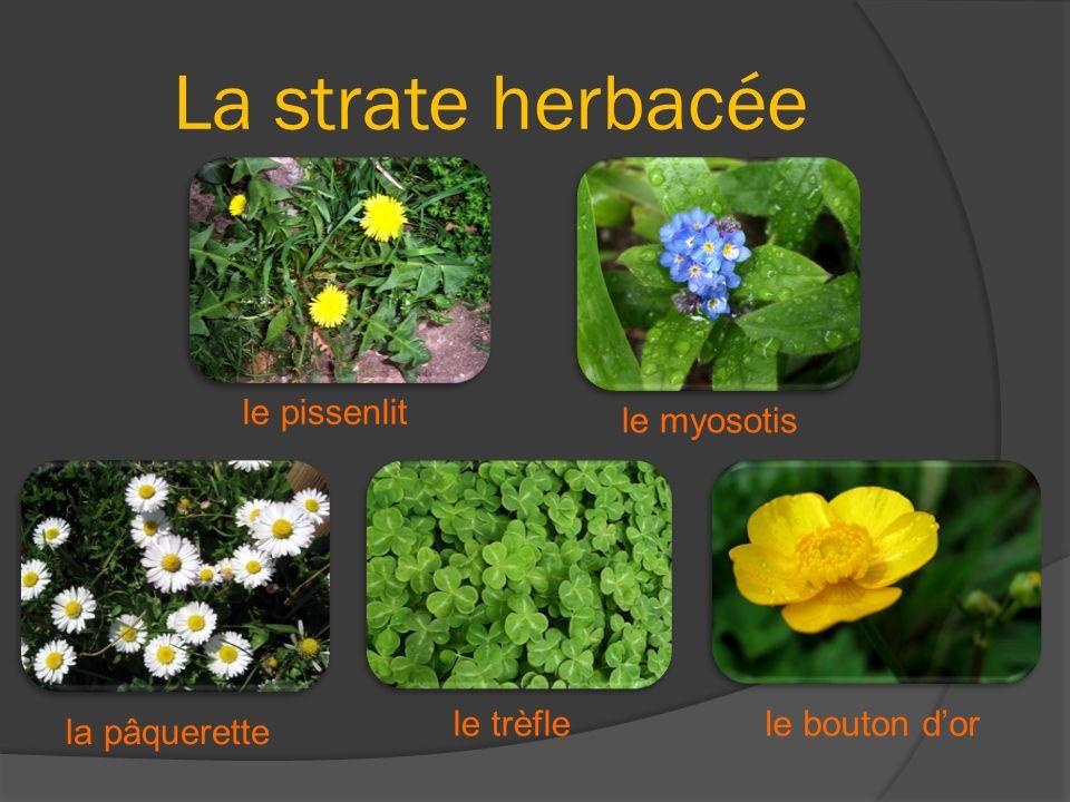 La strate herbacée le pissenlit le myosotis le trèfle le bouton d'or