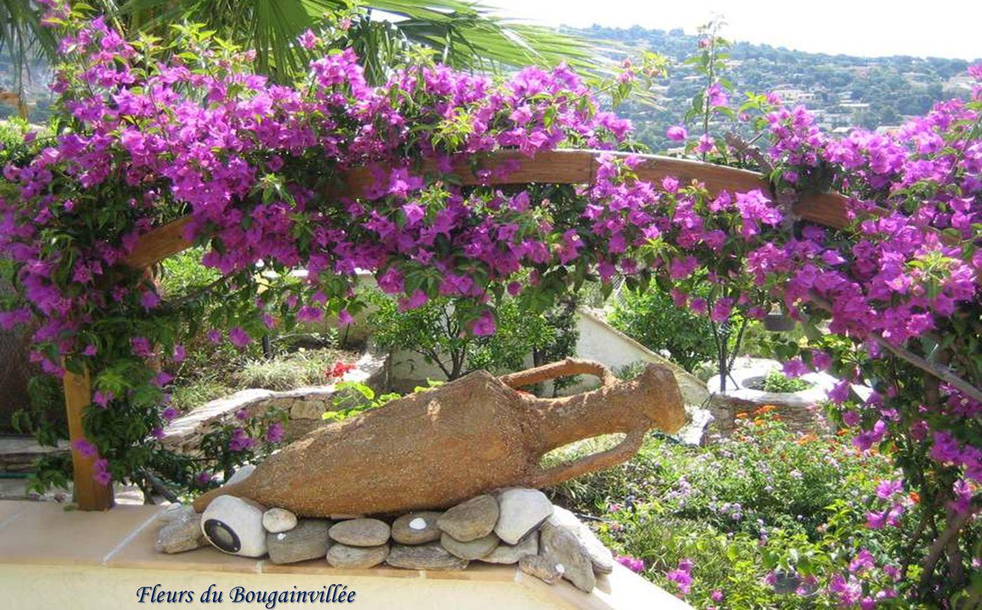 Fleurs du Bougainvillée