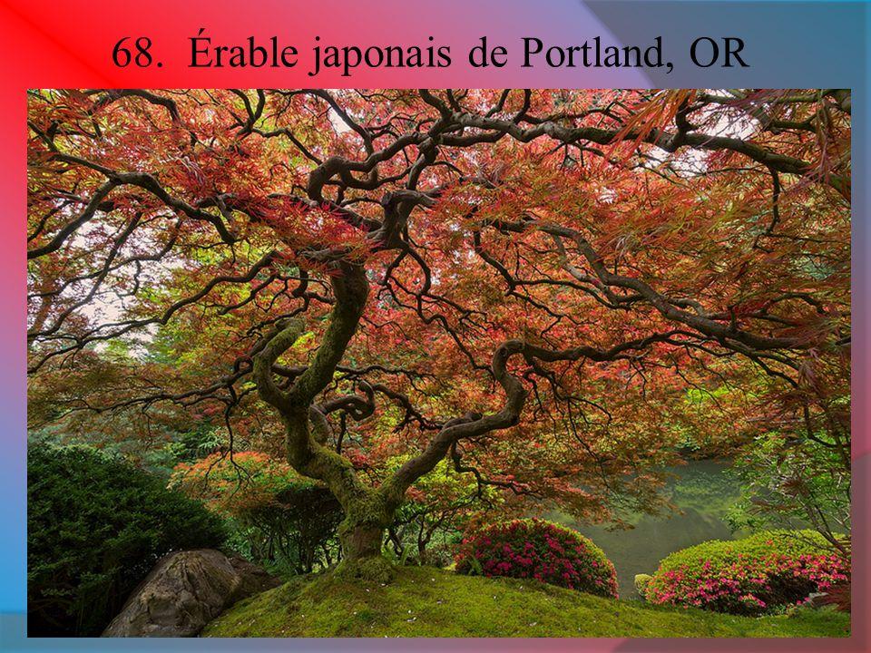 68. Érable japonais de Portland, OR