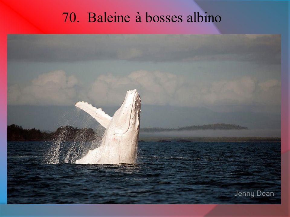 70. Baleine à bosses albino