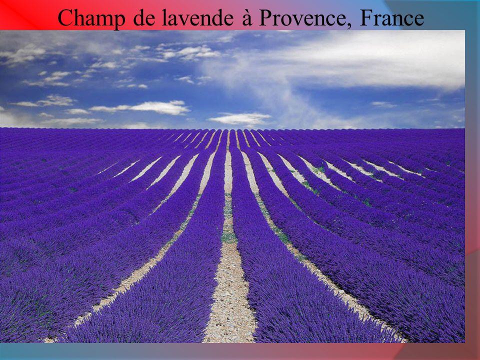 Champ de lavende à Provence, France