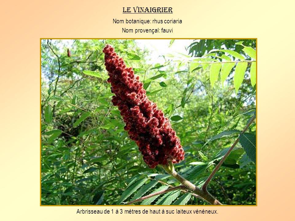Le vinaigrier Nom botanique: rhus coriaria Nom provençal: fauvi