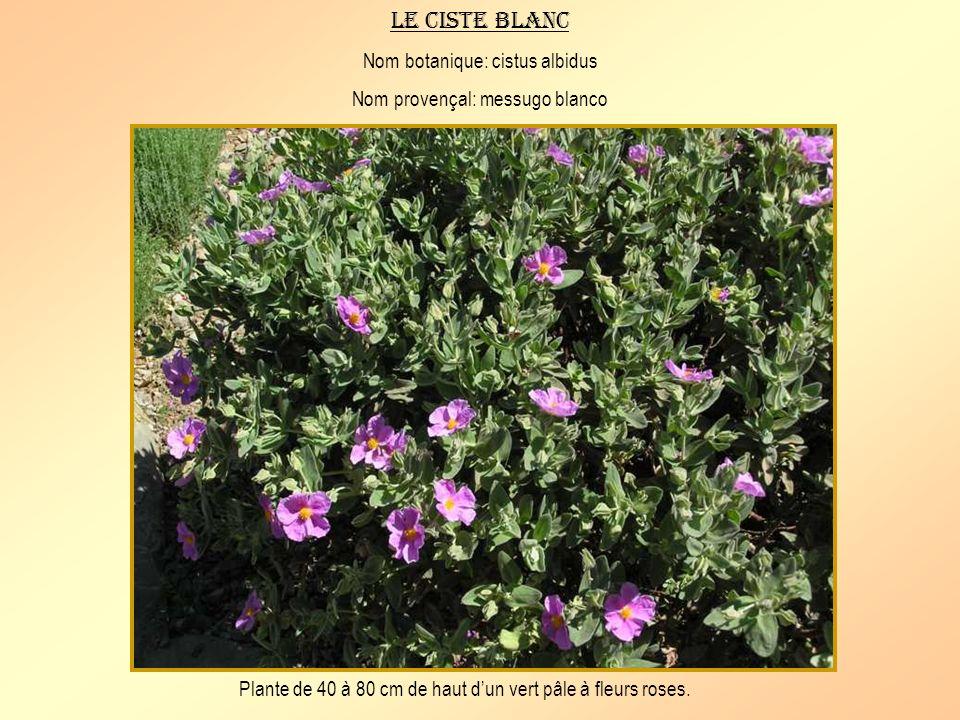 Le ciste blanc Nom botanique: cistus albidus