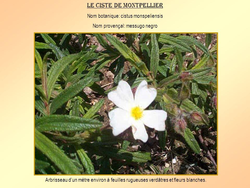 Le ciste de Montpellier