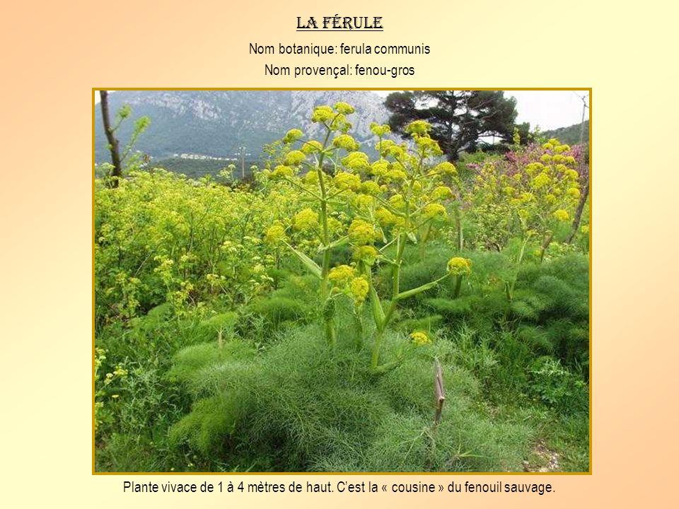 La férule Nom botanique: ferula communis Nom provençal: fenou-gros