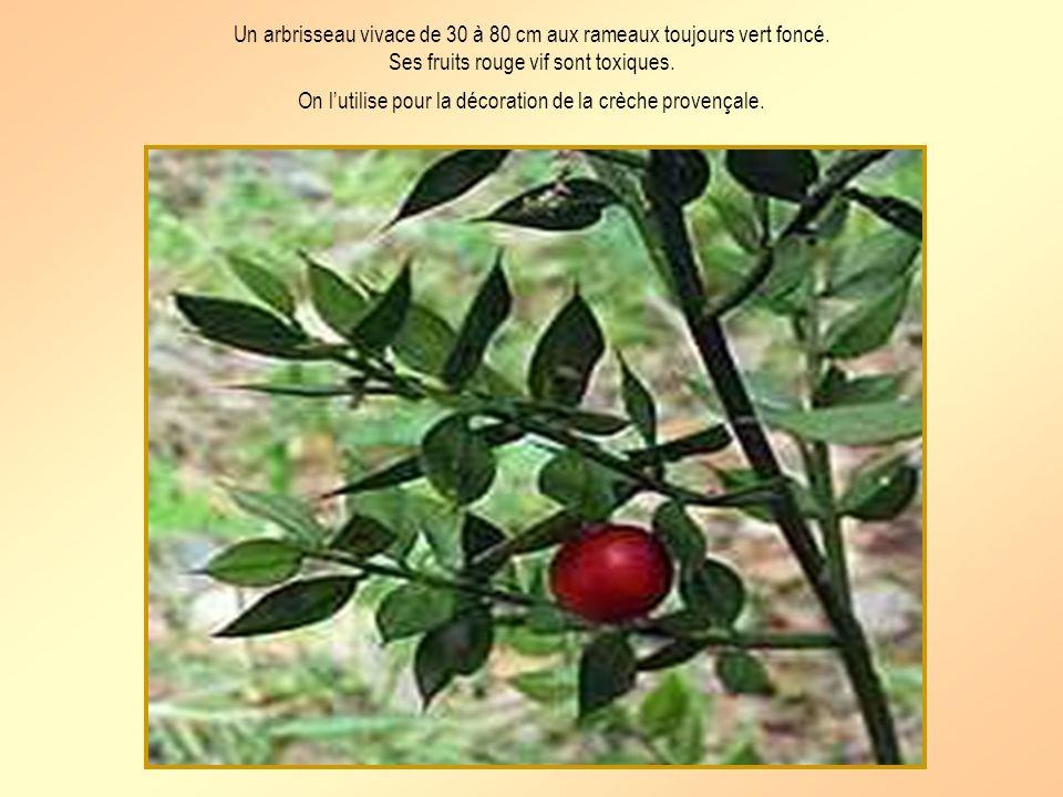 Un arbrisseau vivace de 30 à 80 cm aux rameaux toujours vert foncé.