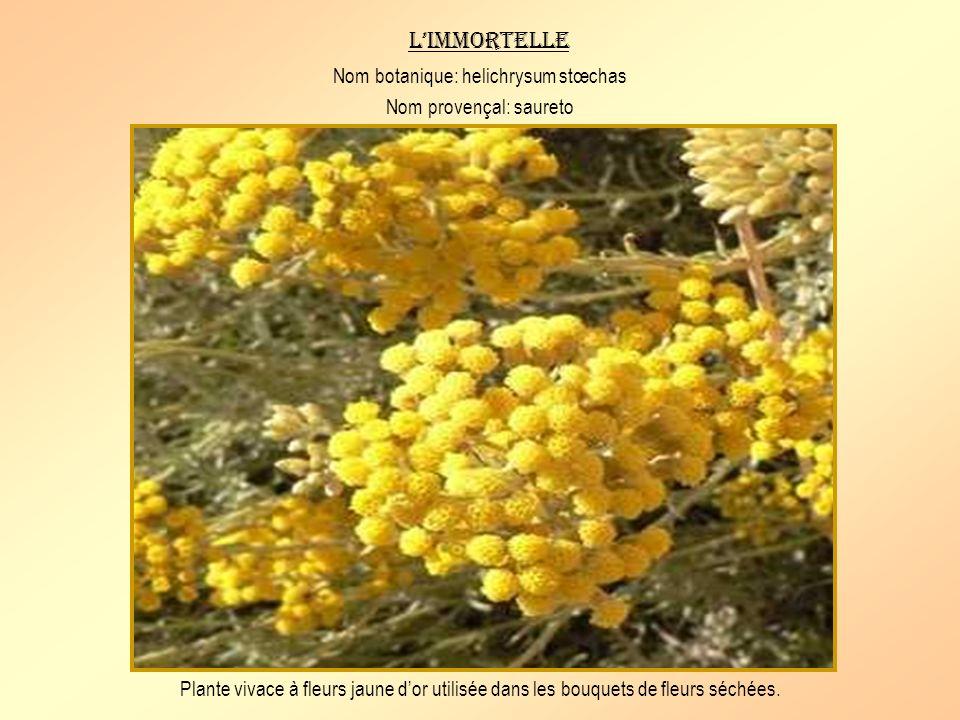 L'immortelle Nom botanique: helichrysum stœchas Nom provençal: saureto