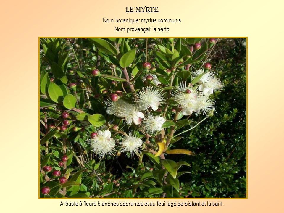 Le myrte Nom botanique: myrtus communis Nom provençal: la nerto
