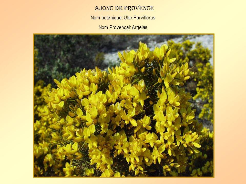 Ajonc de provence Nom botanique: Ulex Parviflorus