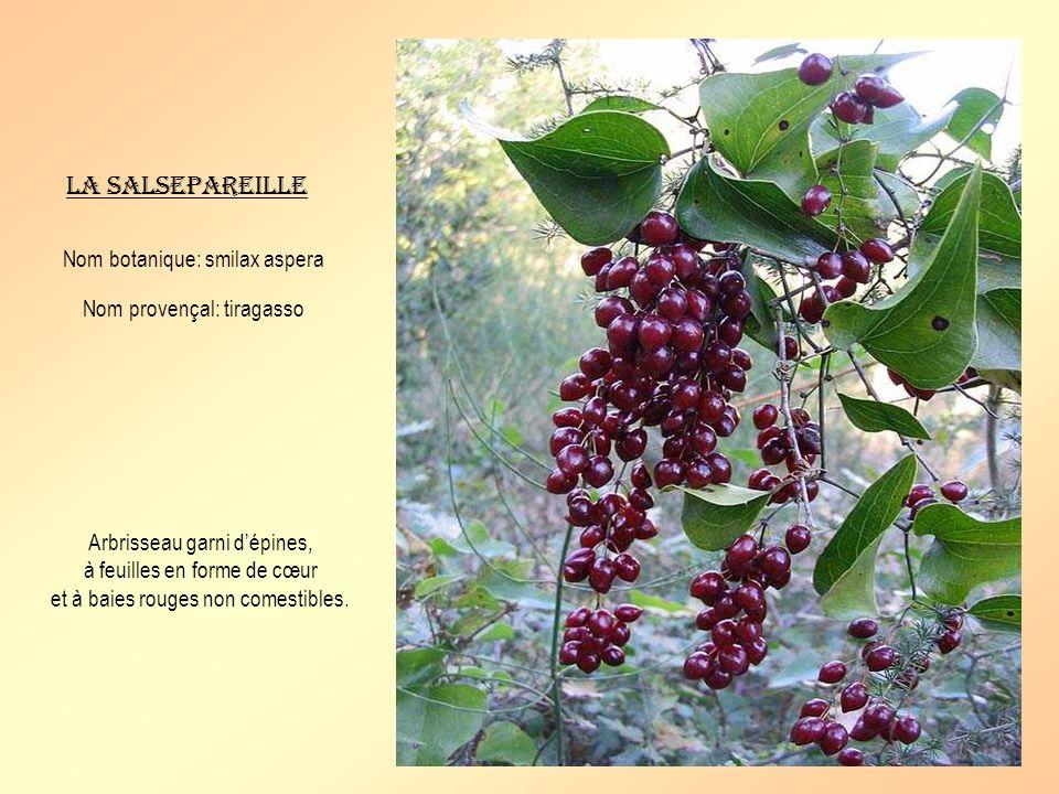 La salsepareille Nom botanique: smilax aspera Nom provençal: tiragasso