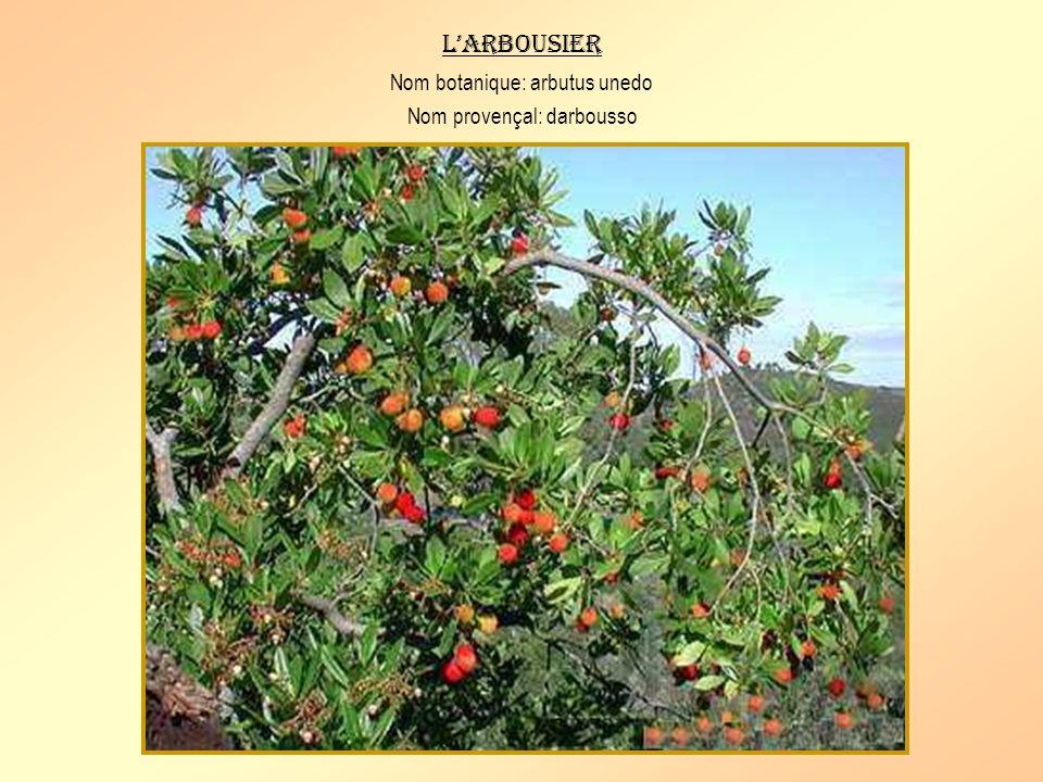 L'arbousier Nom botanique: arbutus unedo Nom provençal: darbousso