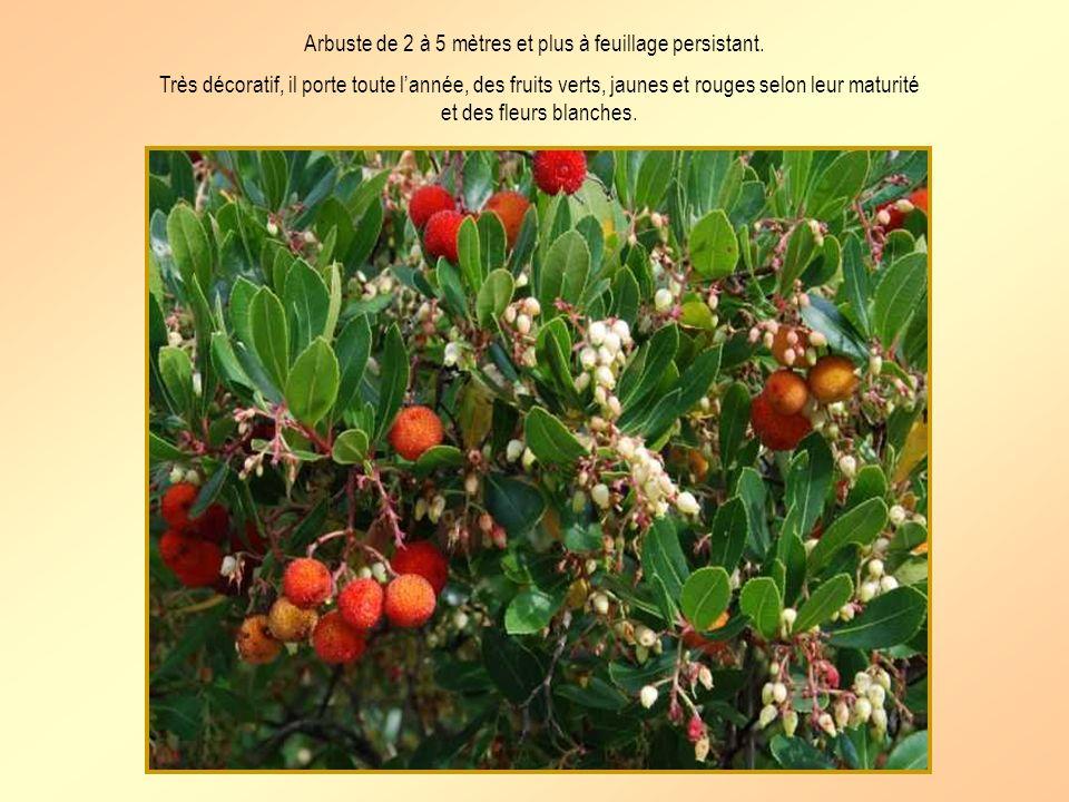 Arbuste de 2 à 5 mètres et plus à feuillage persistant.