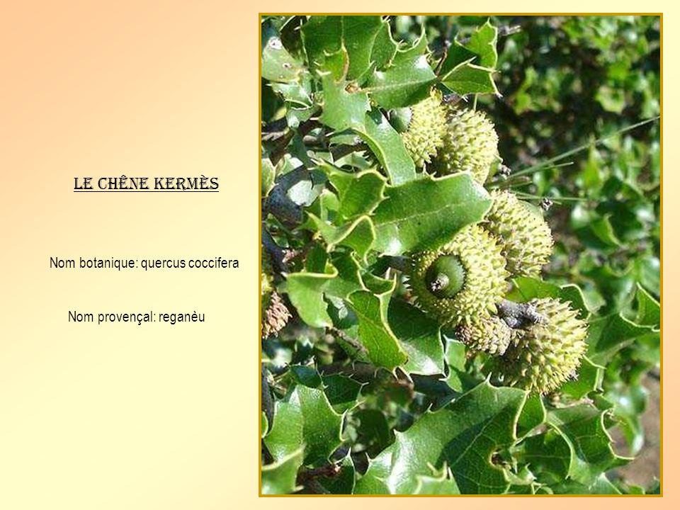 Le chêne kermès Nom botanique: quercus coccifera