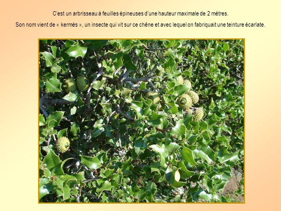 C'est un arbrisseau à feuilles épineuses d'une hauteur maximale de 2 mètres.