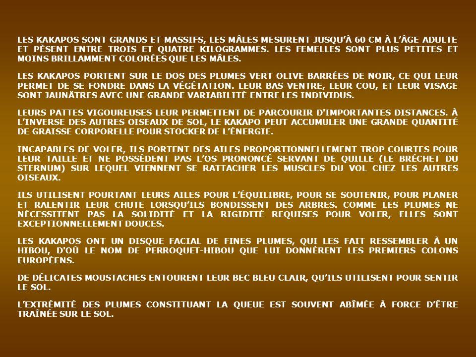 LES KAKAPOS SONT GRANDS ET MASSIFS, LES MÂLES MESURENT JUSQU'À 60 CM À L'ÂGE ADULTE ET PÈSENT ENTRE TROIS ET QUATRE KILOGRAMMES. LES FEMELLES SONT PLUS PETITES ET MOINS BRILLAMMENT COLORÉES QUE LES MÂLES.