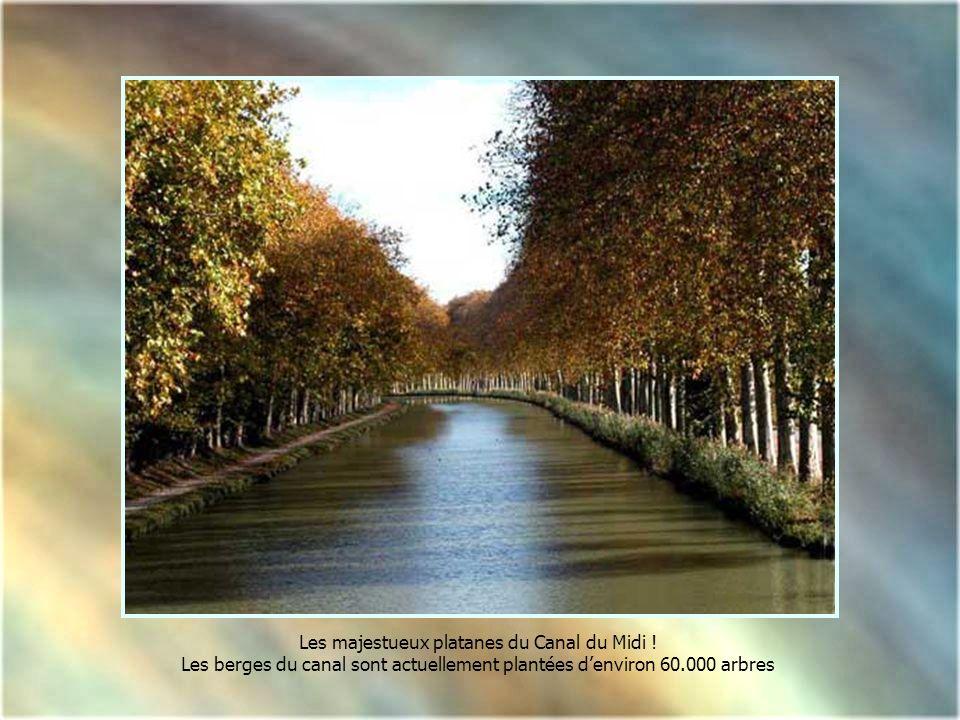 Les majestueux platanes du Canal du Midi !