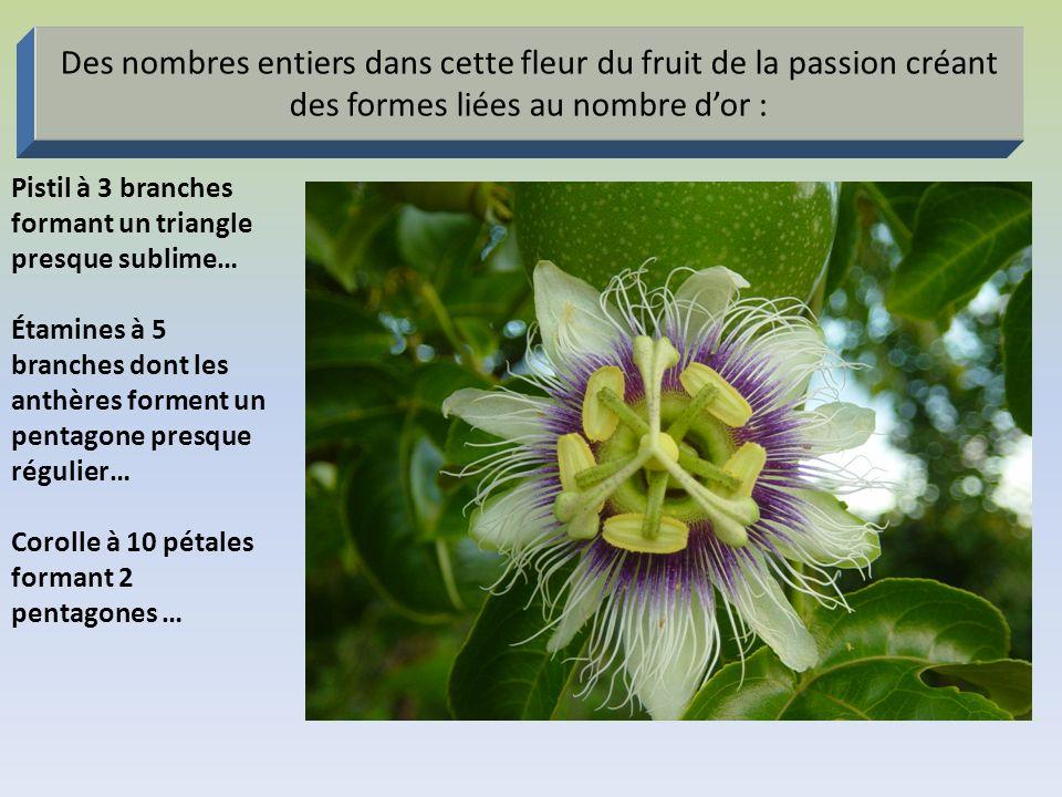 Des nombres entiers dans cette fleur du fruit de la passion créant des formes liées au nombre d'or :