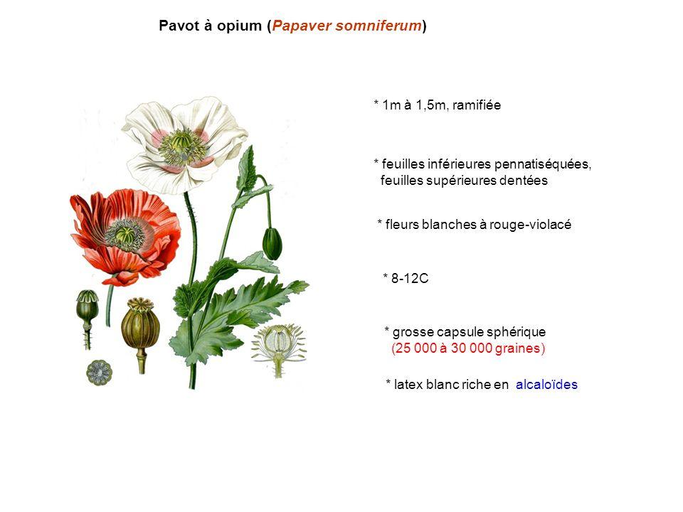 Pavot à opium (Papaver somniferum)