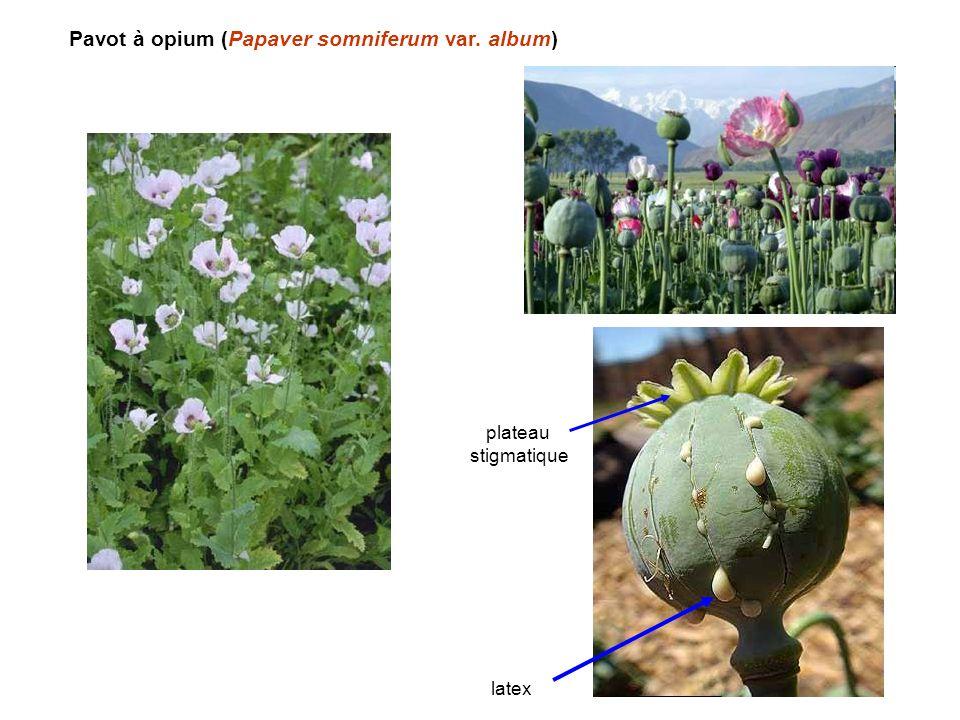 Pavot à opium (Papaver somniferum var. album)