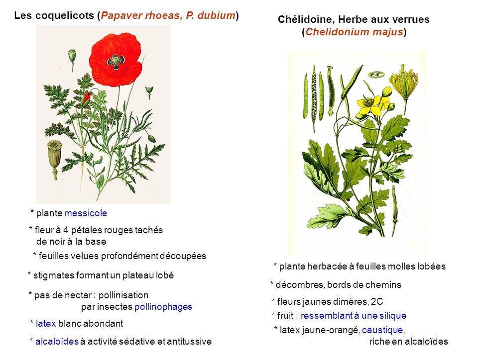 Chélidoine, Herbe aux verrues