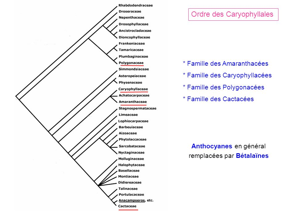 Ordre des Caryophyllales