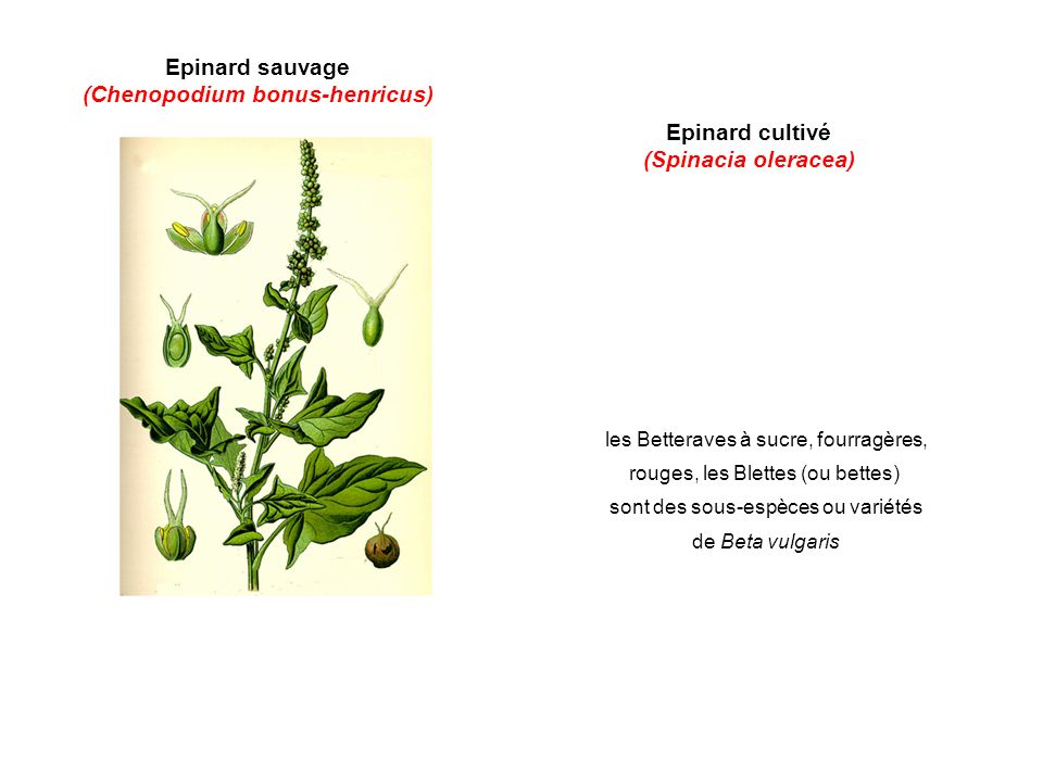 (Chenopodium bonus-henricus)