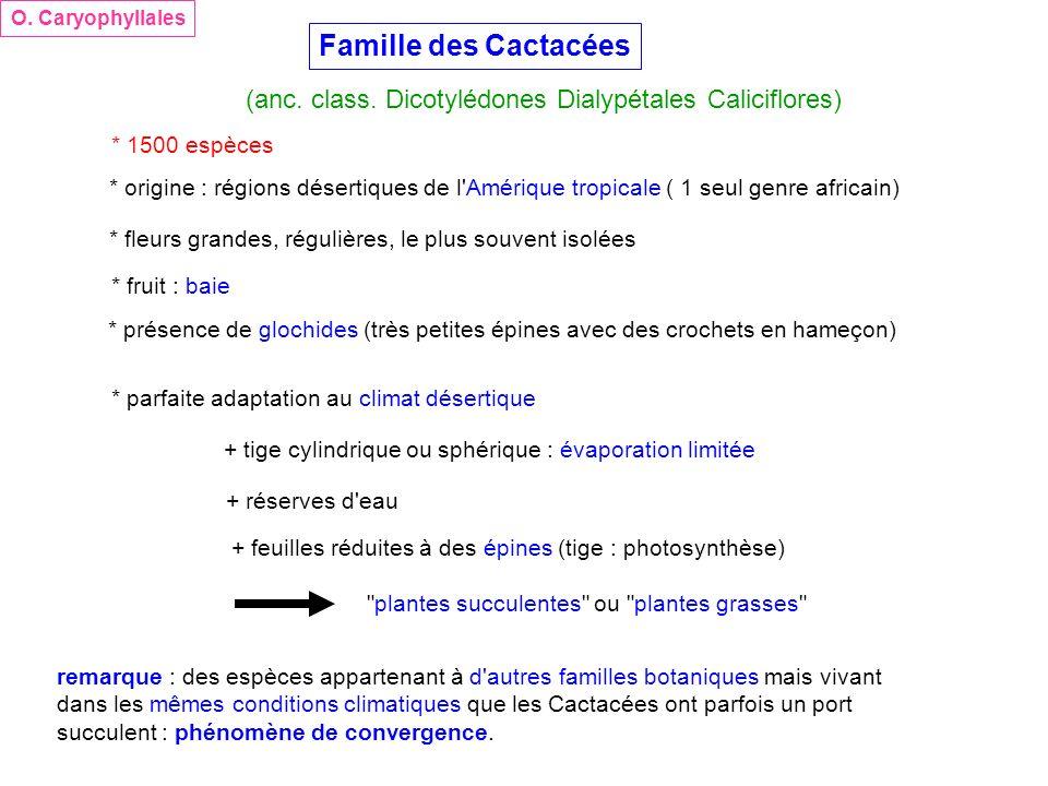 O. Caryophyllales Famille des Cactacées. (anc. class. Dicotylédones Dialypétales Caliciflores) * 1500 espèces.