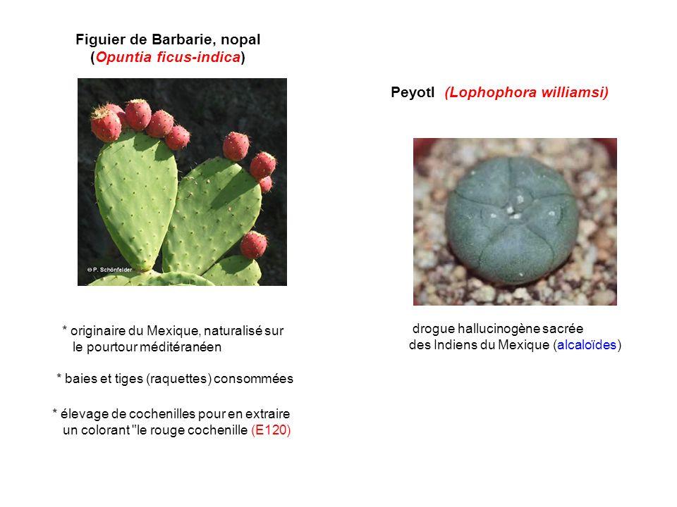 Figuier de Barbarie, nopal (Opuntia ficus-indica)