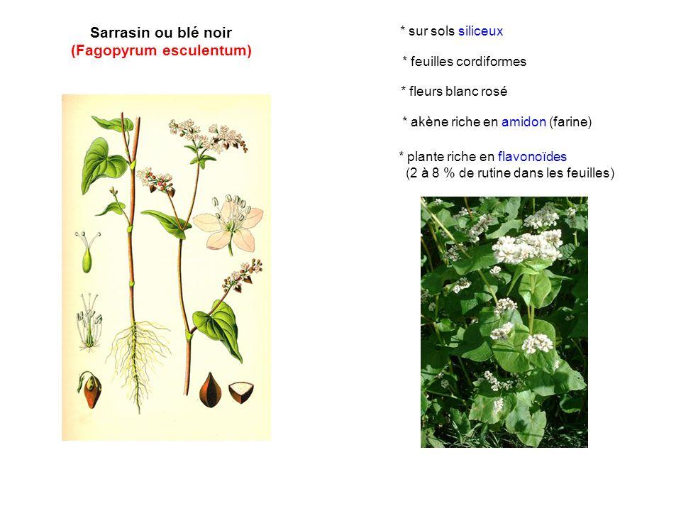 (Fagopyrum esculentum)