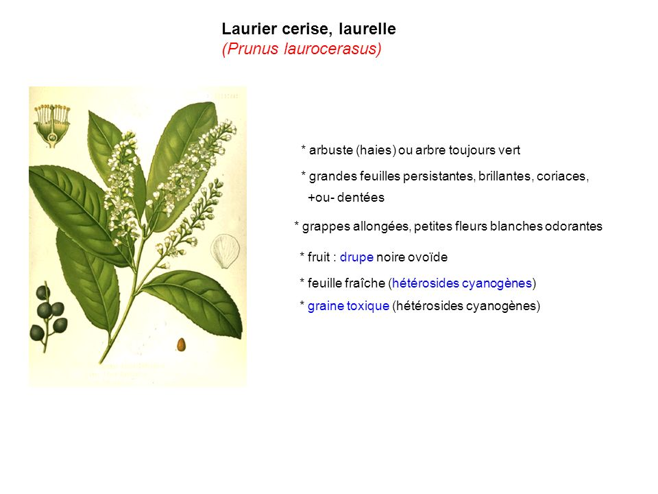 Laurier cerise, laurelle (Prunus laurocerasus)