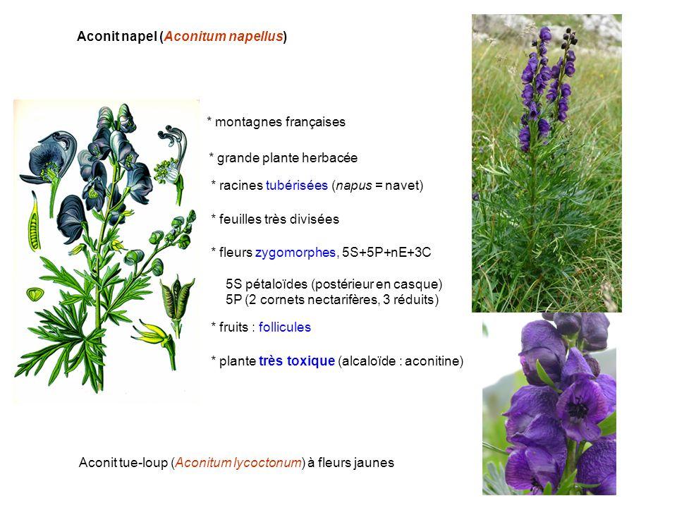 Aconit napel (Aconitum napellus)