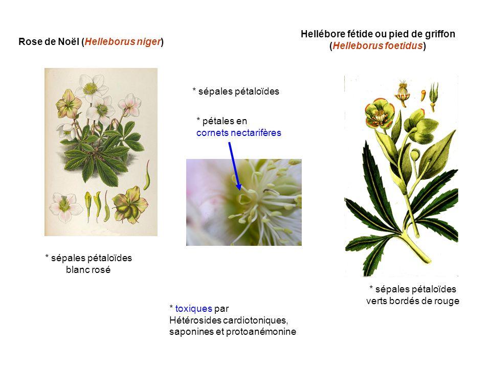 Hellébore fétide ou pied de griffon (Helleborus foetidus)