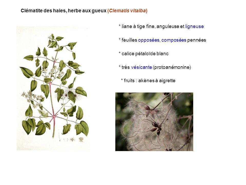 Clématite des haies, herbe aux gueux (Clematis vitalba)