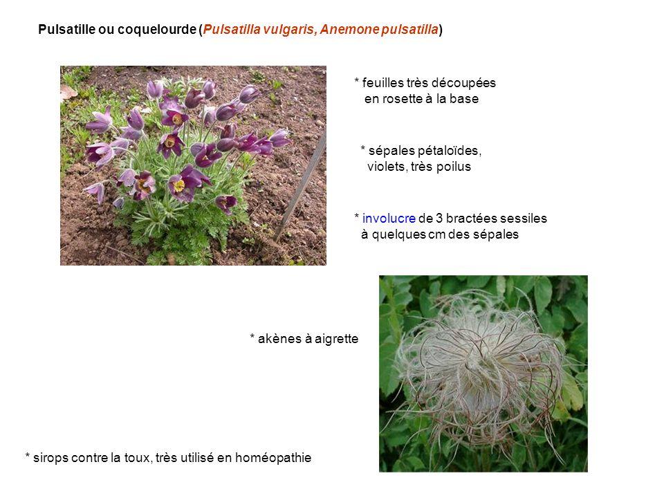 Pulsatille ou coquelourde (Pulsatilla vulgaris, Anemone pulsatilla)